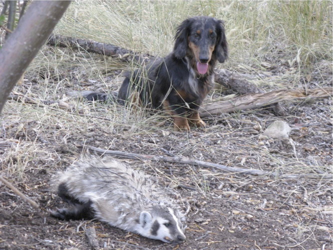 Max-badger-dog